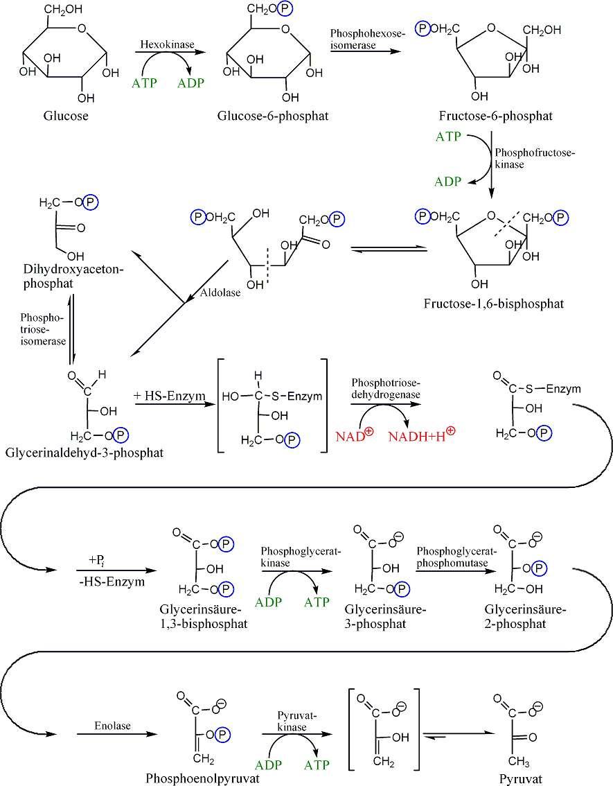 La glycolyse est une voie catabolique complexe. © Morglin, Wikimedia, domaine public