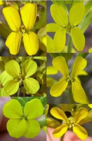 L'herbe Erysimum mediohispanicum se développe dans les montagnes du sud-est de l'Espagne