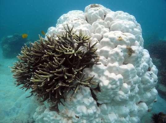 Pendant l'épisode de réchauffement des eaux en 2010, en Malaisie, certains genres de coraux n'ont pas survécu (ils apparaissent en blanc sur la photo), mais les espèces du genre Acropora se sont adaptées. © UNSW