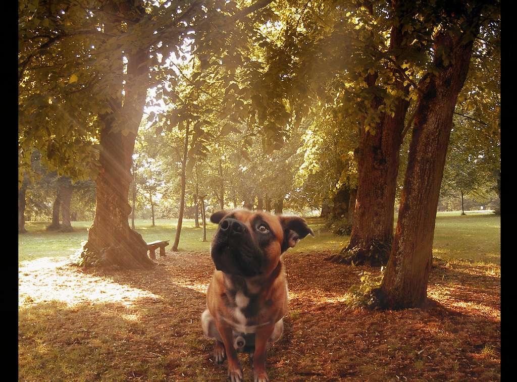 Que fait ce chien pensif ? Regarde-t-il son maître ou cherche-t-il à localiser le Nord avant de déféquer ? © belgioitaly, Flickr, cc by nc 2.0