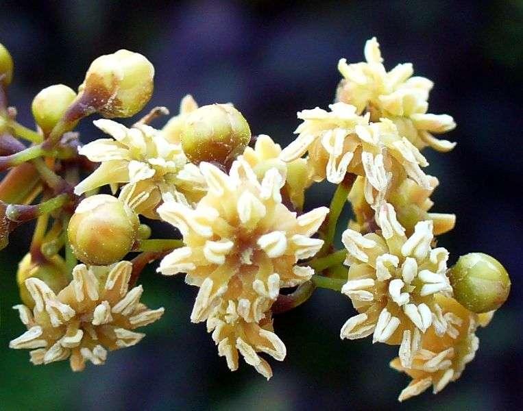 Amborella trichopoda est la seule représentante de son genre. Limitée à la Nouvelle-Calédonie, elle constitue le taxon le plus primitif des angiospermes, ou plantes à fleurs. Mais porte aussi des gènes des plantes sans fleurs... © Scott Zona, Wikipédia, cc by 2.0