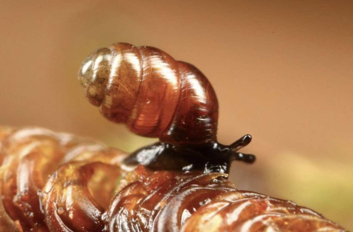 Le vertigo édenté est un minuscule escargot de deux millimètres. Il fait partie des mollusques les plus petits et les plus rares de France. © Radovan Coufal, CBNFC-ORI