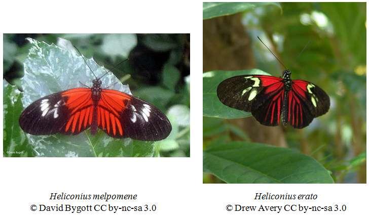 Les papillons tropicaux Heliconius melpomene et Heliconius erato sont un exemple de mimétisme müllérien : tous les deux sont toxiques et se ressemblent. © David Bygott et Drew Avery, Eol CC by-nc-sa 3.0