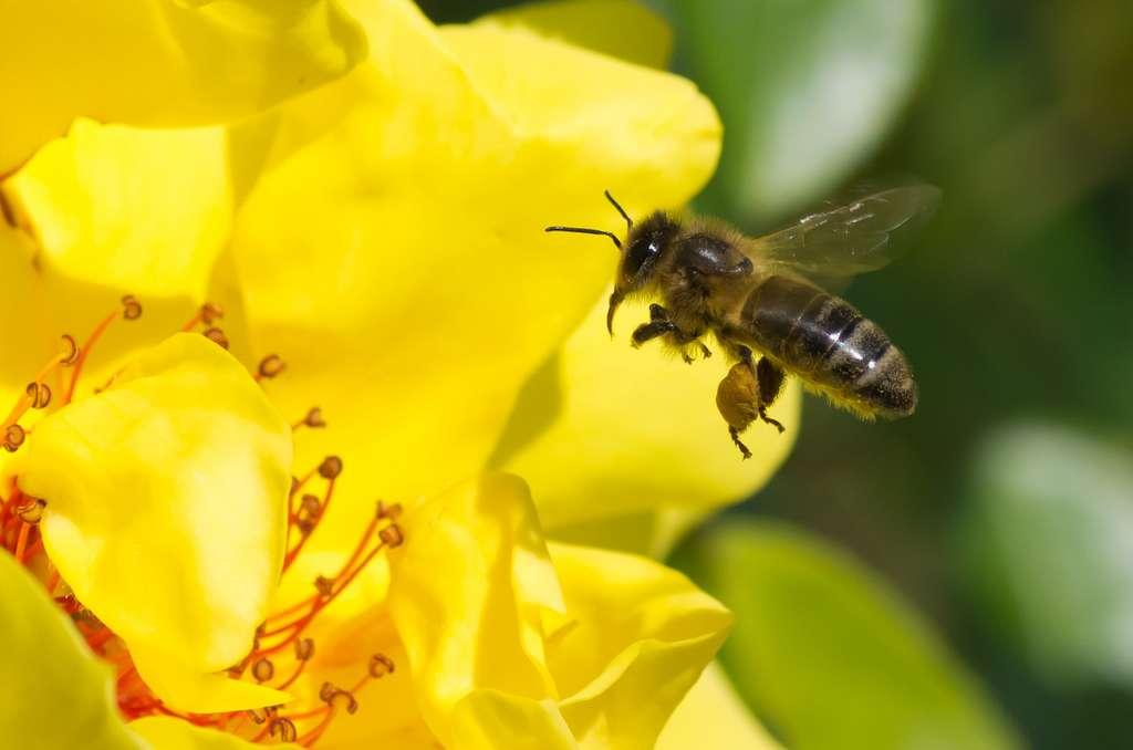 Les abeilles ont du flair ! Elles sont capables de mémoriser au moins 16 odeurs différentes. Il n'est toutefois pas certain qu'elles parviennent à les distinguer s'il y a une trop forte concentration d'oxydes d'azote dans l'air. © JR Guillaumin, Flickr, cc by sa 2.0