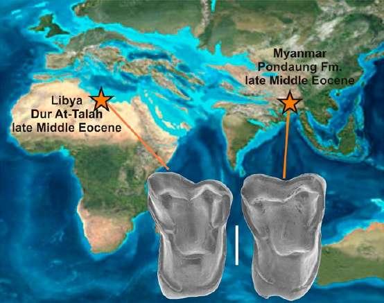 La ressemblance entre les molaires d'Afrasia djijidae (à droite) et Afrotarsius libycus (à gauche) est frappante. Les lieux de vie de ces deux espèces ont été replacés sur la carte de la Terre présentant la position des continents durant l'Éocène moyen, il y a 35 millions d'années. L'Afrique et l'Asie étaient séparées par l'océan Téthys. © Chaimanee et al. 2012, Pnas