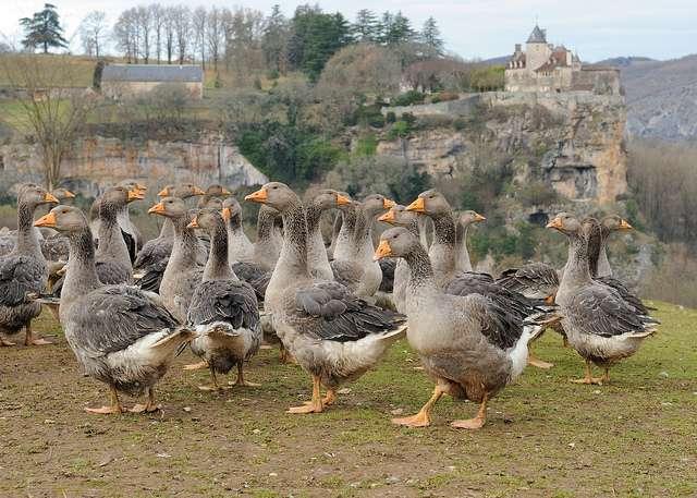 Le canard ou comme ici, l'oie, seront-ils bientôt de sérieux concurrents pour Total ? © JanetandPhil, Flickr, CC by-nc-nd 2.0