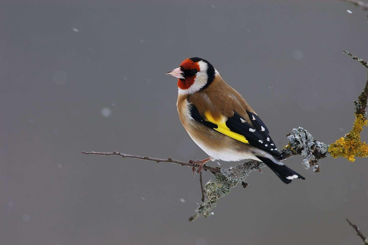 L'opération BirdLab est un travail de science participative. C'est aussi le moyen d'apprendre à mieux reconnaître les oiseaux. Ici un chardonneret élégant (Carduelis carduelis), avec son bec puissant qui sert à chercher des graines. La couleur rouge est la marque d'un mâle. © Fabrice Cahez