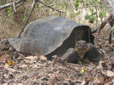 Les tortues hybrides ont été trouvées sur les îles de l'archipel des Galápagos rendu célèbre grâce aux pinsons de Charles Darwin. © Université Yale