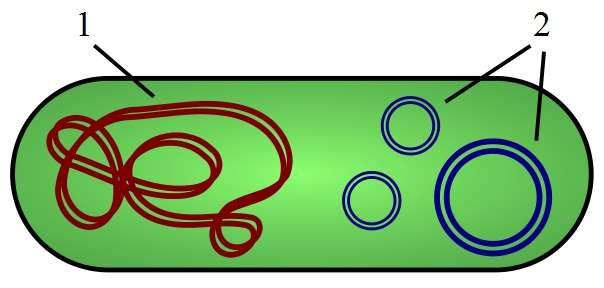 Les plasmides (en bleu) sont des morceaux d'ADN circulaires dissociés du chromosome (en rouge). © Spaully, Wikimedia, CC by-sa 2.5