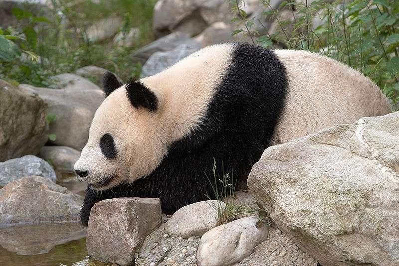 Photo d'un panda géant. © Werner Hölzl, GNU Free Documentation License, version 1.2