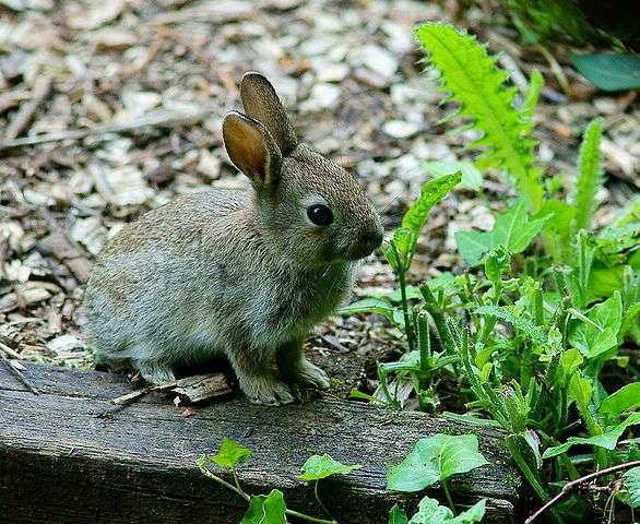 Le lapin, herbivore, est un consommateur primaire. © Peter Trimming, Wikimedia Commons, CC by 2.0