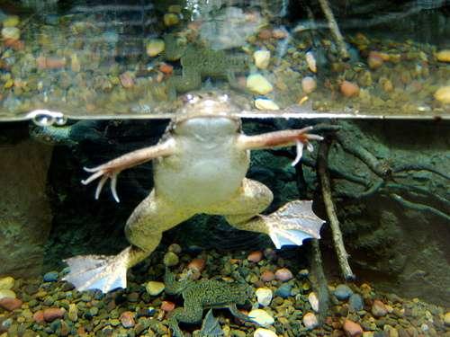 Le xénope du Cap est un amphibien originaire d'Afrique du Sud, qui affectionne le milieu aquatique. © M. V. Jantzen / Licence Creative Commons