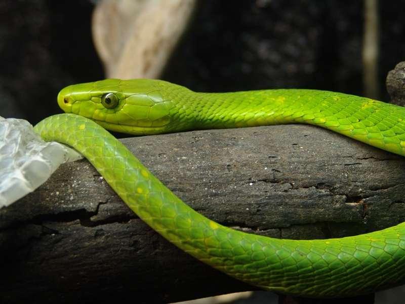 Un mamba vert, Dendroaspis angusticeps, un animal à sang froid. © Danleo, Wikipédia