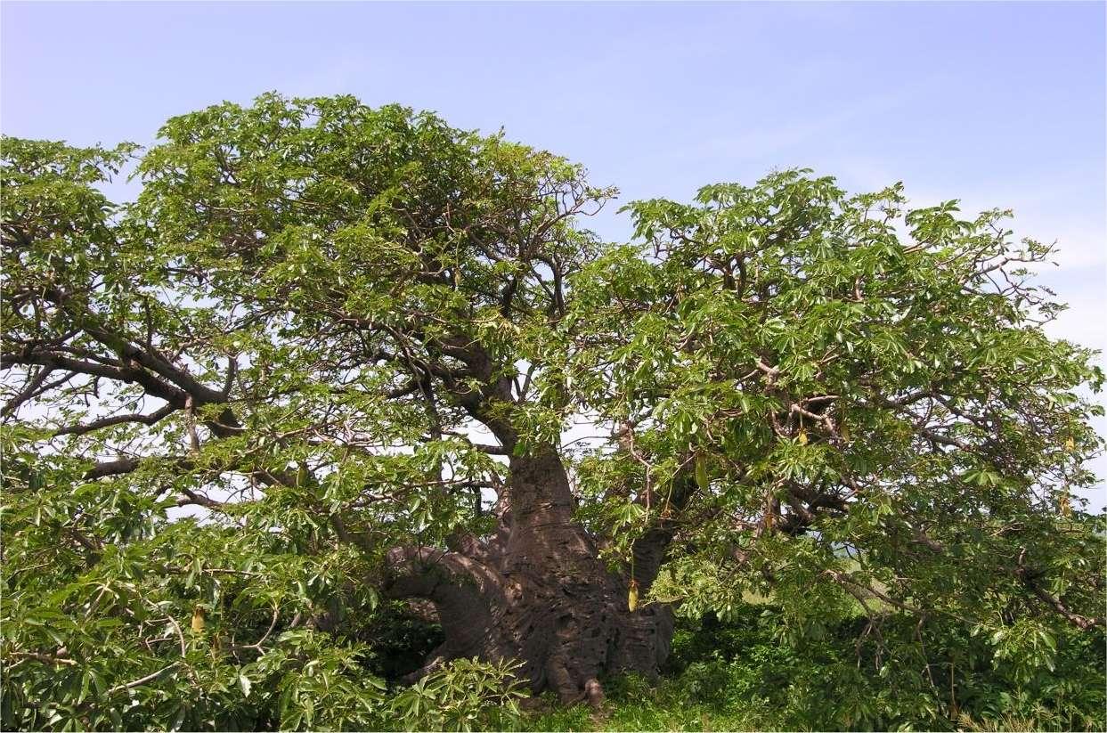 Un baobab du Parc national de l'île de la Madeleine, au Sénégal. La protection dont jouit ce massif forestier a permis la croissance d'arbres exceptionnels. Celui-ci est des 68 présents sur l'île et doit son tronc trapu aux vents puissants qui soufflent sur l'île. © Sébastien Garnaud