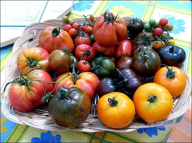 La recolte des tomates. Crédits : Photo Michel Caron