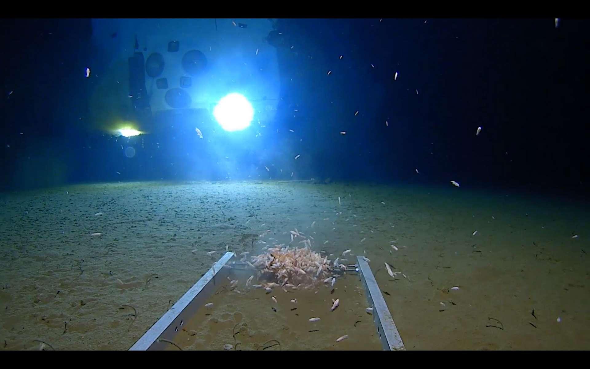 Des crustacés grouillant dans les abysses de la fosse des Mariannes, la plus profonde fosse océanique du monde. © Atlantic Productions for Discovery Channel