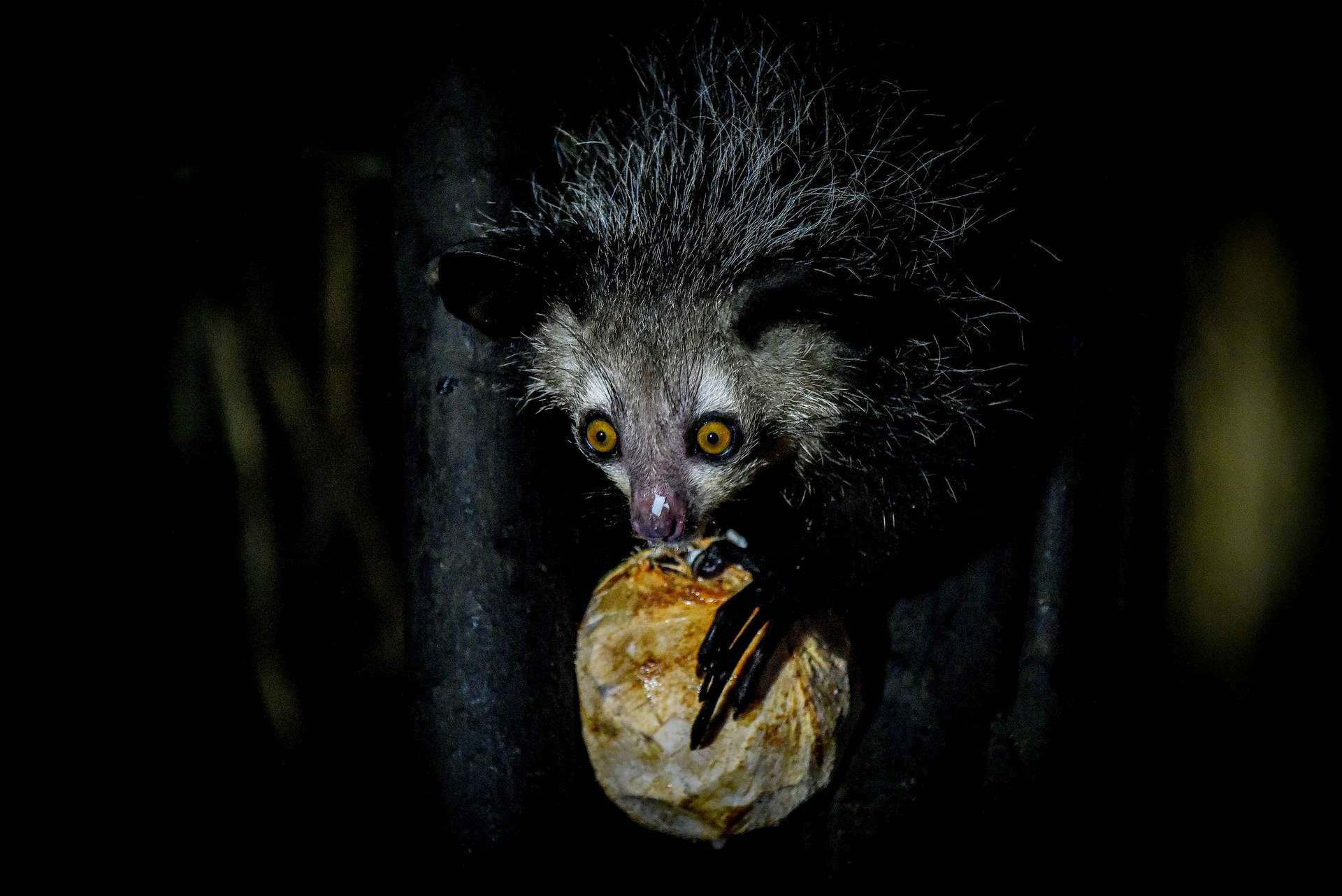 L'aye-aye est le plus gros primate nocturne. Il se nourrit de fruits et d'insectes qu'il récupère dans les troncs d'arbres grâce à ses longs doigts. © Rod Waddington, Flickr