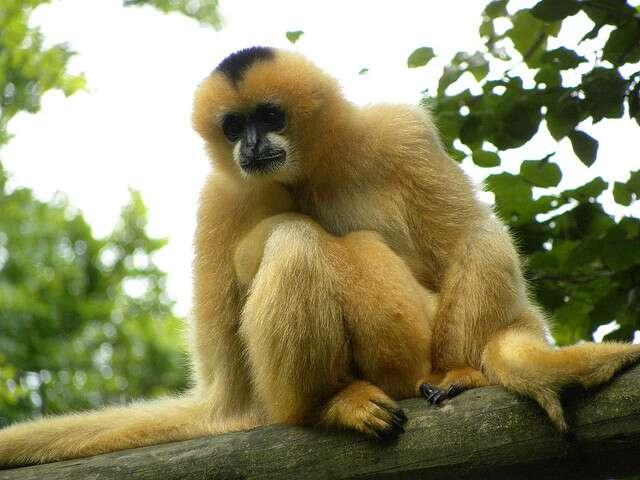 Le gibbon est un petit primate vivant dans les forêts tropicales asiatiques. © Stuutjs, Flickr, CC by-nc 2.0