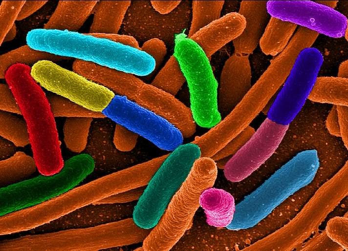 La flore intestinale, composée de nombreuses espèces de bactéries, comme Escherichia coli, intervient à de très nombreux niveaux dans l'organisme. Souvent considérée comme un organe à part entière, qui facilite la digestion mais participe aussi au contrôle de nos émotions, de notre cerveau et peut-être même à l'autisme, la flore intestinale possède quelques contreparties, comme le fait qu'elle facilite le développement de cancers colorectaux. © Mattosaurus, Wikipédia, DP