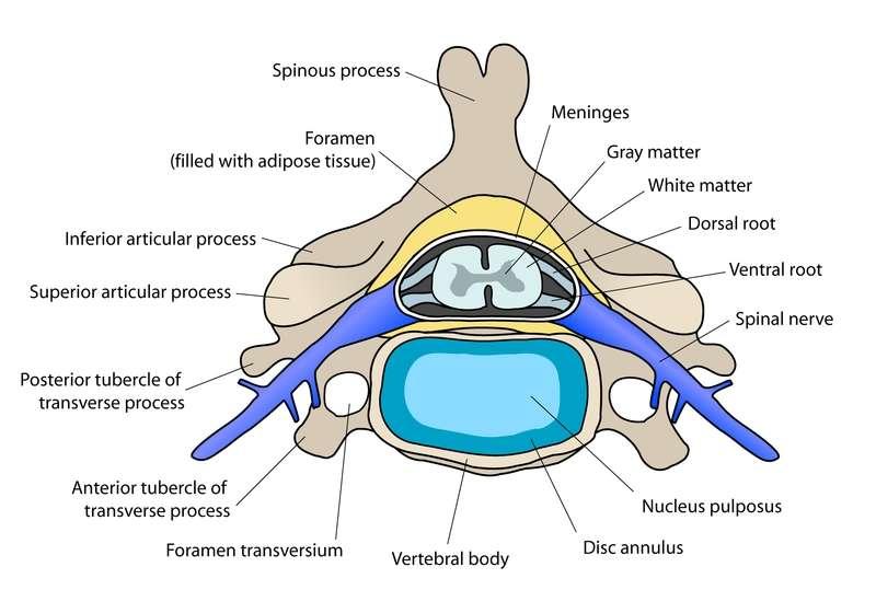 Coupe transversale d'un disque intervertébral et de la colonne vertébrale. En bas, on peut voir le nucleus pulposus, substance gélatineuse donnant un peu souplesse à cette masse osseuse. © Debivort, Wikipédia, cc by sa 3.0
