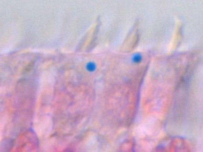 Ces cellules de l'oreille interne d'un pigeon ont été colorées de manière à faire ressortir le fer en bleu. Les billes riches en fer, mises en évidence par Mattias Lauwers, sont clairement visibles à la base des stéréocils. Il n'y en a qu'une seule par cellule. © IMP
