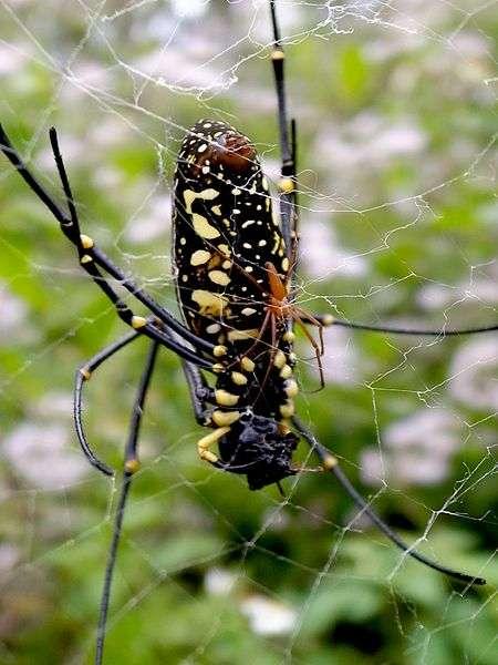 Chez Nephila pilipes, le mâle doit user de stratégie pour conquérir la femelle. © Chen-Pan Liao, Wikipédia, cc by sa 3.0