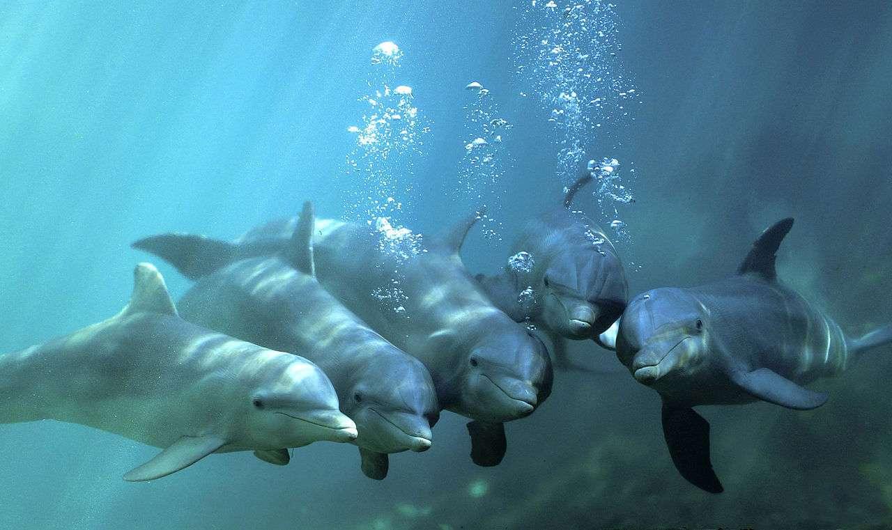Pourra-t-on un jour échanger librement avec un dauphin à l'aide d'un traducteur ? Denise Herzing y travaille. © Truncatus, Wikipédia, DP