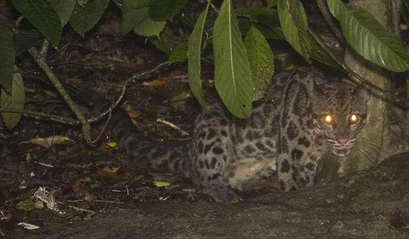 Le léopard tacheté de Bornéo (Neofelis diardi), photographié en Malaisie. © Canorus CC by-sa
