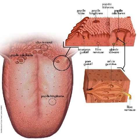 La langue est un organe impliqué dans l'alimentation et la phonation. © univ-paris5