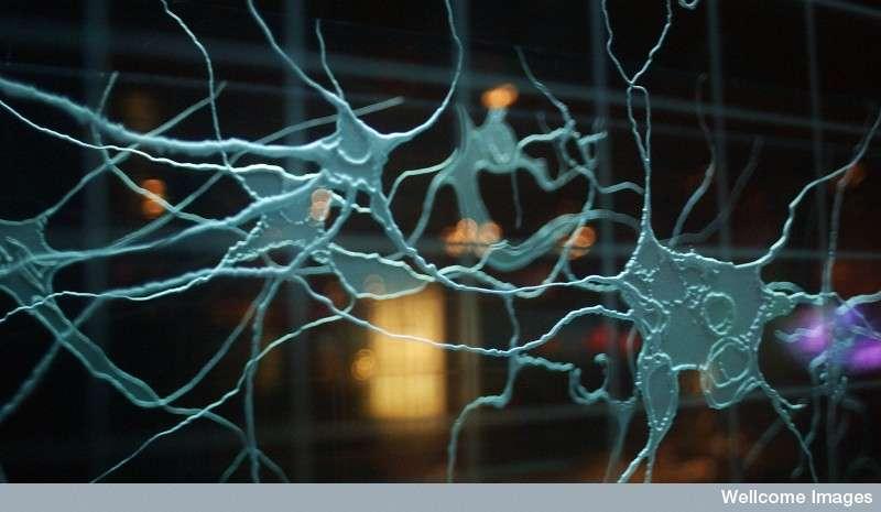 Les neurones situés dans le cerveau sont responsables des phases de sommeil et de la mémoire. © Wellcome Library, London, CC by-nc 2.0