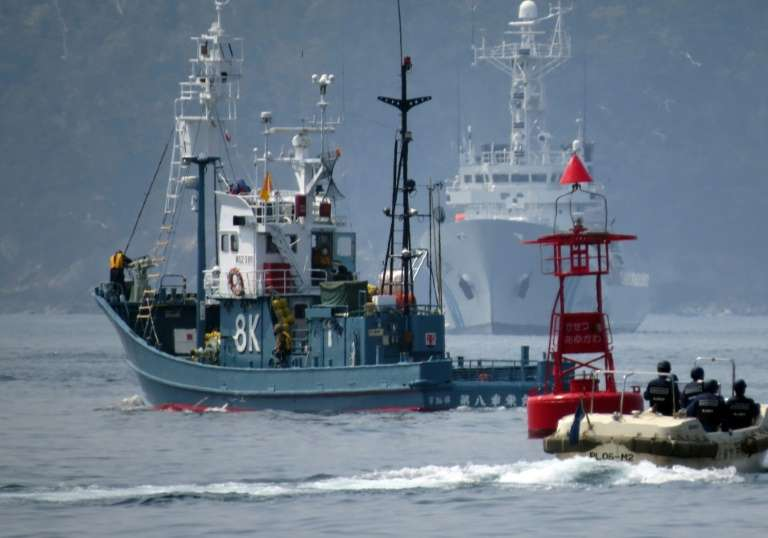 Le Japon va reprendre ouvertement la pêche commerciale à la baleine. Ici, un baleinier quittant le port d'Ayukawa, escorté par des gardes-côtes japonais, pour une campagne de chasse, en 2014. © Kazuhiro Nogi - AFP/Archives