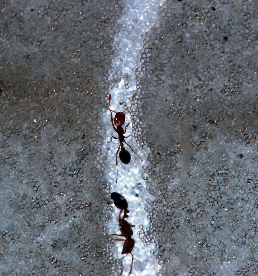 Les fourmis de feu sont invasives. Elles sont arrivées aux États-Unis, au port de Mobile, dans les années 1930. Depuis, elles ont continué leur colonisation de la planète, et sont notamment parvenues en Australie en 2001. © Georgia Institute of Technology