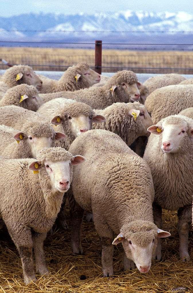 Le virus de Schmallenberg s'est principalement attaqué aux moutons, puisque 172 cas des 186 détectés en Allemagne concernent l'ovin. Cependant, puisque les dégâts se manifestent à la naissance et que la période de gestation des vaches est plus longue, on pourrait constater une mortalité importante aux mois de février et mars chez les bovins. © Agriculture Research Service, Wikipédia, DP
