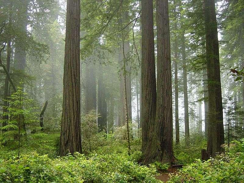 L'étude a porté sur 64 plantes retrouvées en Californie (ici, le Redwood National Park). © Michael Schweppe, Wikimedia, CC by-sa 2.0