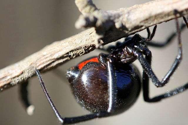 La veuve noire d'Amérique du Nord (Latrodectus mactans) est une espèce de petite taille, dont la longueur du corps n'excède pas 15 mm. Son venin est mortel, mais on ne compte en moyenne qu'un cas mortel pour 200 blessures. © Paul Sapiano, Flickr, cc by 2.0
