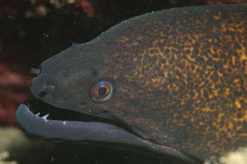 Gymnothorax flavimarginatus, murène à tâches noires (ou à liseré jaune, ou à bord jaune), commune à Hawaï. © R. Mehta