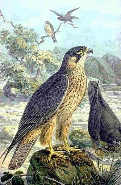 Le Faucon d'Eléonore a été nommé d'après Giudicessa Eleonora de Arborea (1350-1404), une princesse guerrière sarde qui a créé les premières lois pour la protection des oiseaux de proies en Europe. © Naumann, Domaine public