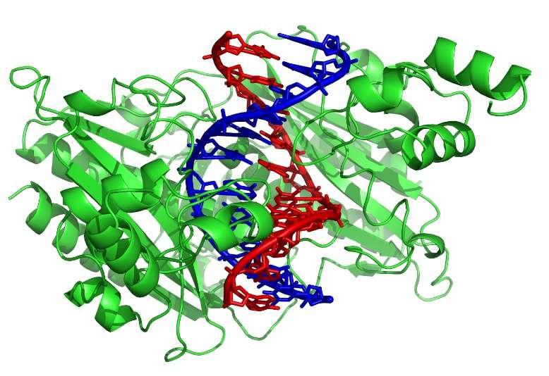 L'enzyme de restriction EcoRV (en vert) coupe l'ADN sur les deux brins (rouge et bleu). © Zephyris, Wikimedia, CC by-sa 3.0