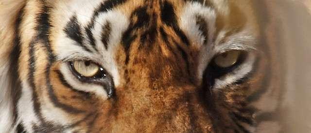 Il existe neuf sous-espèces de tigres Panthera tigris. Trois d'entre elles se sont éteintes ces dernières décennies : le tigre de la Caspienne (Panthera tigris virgata), le tigre de Java (Panthera tigris sondaica) et le tigre de Bali (Panthera tigris balica). © ianduffy, Flickr, cc by nc 2.0