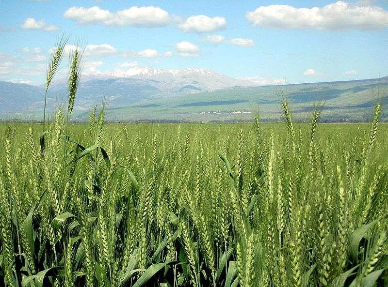 Les champs de blé OGM abritent de grandes quantités d'insectes, comme dans des champs naturels. © DR