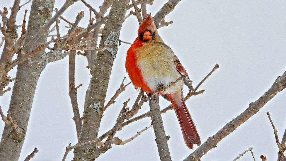 Un cardinal rouge à la fois mâle et femelle. © Jamie Hill, via BBC news