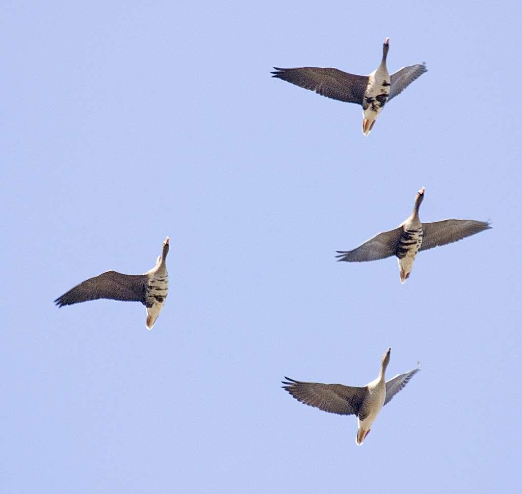 Lors des migrations, comme toutes les autres espèces d'oies sauvages, l'oie rieuse vole en formation en V. L'oiseau de tête, qui fournit le plus gros effort, est relayé régulièrement. © Flickr, Sergey Yeliseev, cc by nc nd 2.0