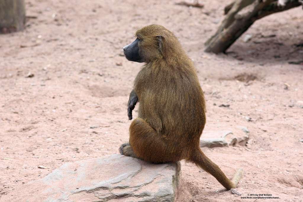 Les babouins (genre Papio) sont des primates qui vivent en bandes organisées, principalement en Afrique australe. Ils peuvent communiquer grâce à des postures, des mouvements de queue, des cris ou des jappements. © Olaf_S, Flickr, CC by-nc-sa 2.0