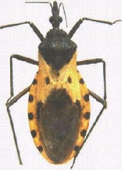 Le triatome, l'insecte vecteur. © Pan American Health Organization
