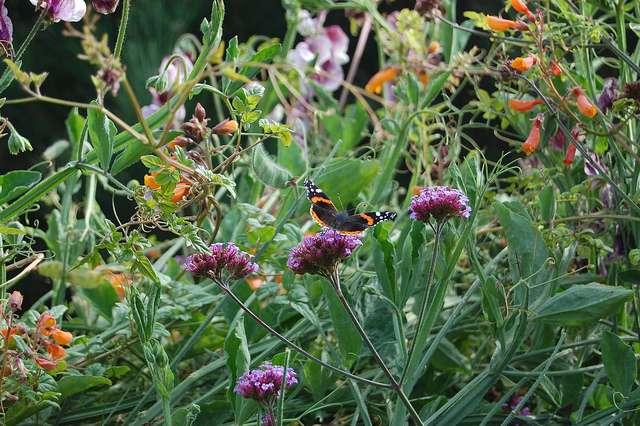 Un mélange de plantes locales et exotiques permet de prolonger la période de floraison. Ici, un papillon se pose sur Verbena bonariensis (Verveine de Buenos-Aires), originaire d'Amérique du Sud. © FarOutFlora, Flickr, CC by nc nd 2.0