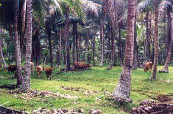 Culture paysanne de cocotier dans le Vanuatu