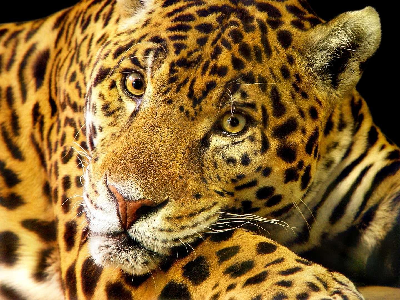 Le jaguar brésilien est en grand danger : en 15 ans, les populations ont perdu 80 % de leurs effectifs ! © Tambako the jaguar, Fotopedia, cc by nd 2.0