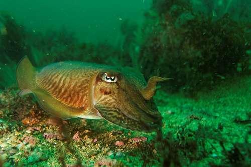 Les Céphalopodes appartiennent à l'embranchement des Mollusques. Ici, une seiche. © danielguilp, Flickr, CC BY NC-SA 2.0