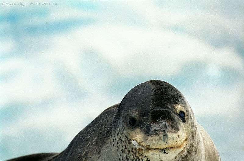Photo d'un léopard des mers. © Jerzy Strzelecki, GNU FDL Version 1.2