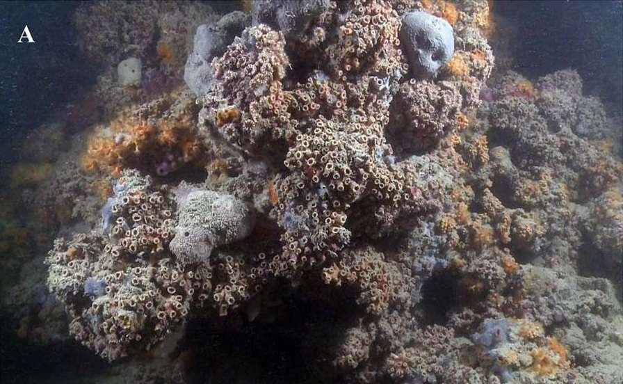 Photographie d'une portion du nouveau récif de corail identifié dans les eaux italiennes, qui est aussi le premier récif mésophotique découvert en Méditerranée. © Giuseppe Corriero et al, Nature Scientific Reports, 2019